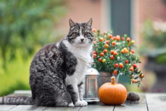 Varicolored tabby cat