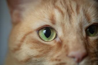 M shaped marking on an orange tabby cat
