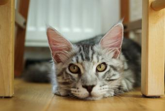 Lonely Maine coon cat