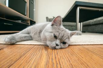 Sad gray cat