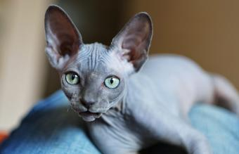 How to Find Sphynx Cat Rescue Shelters