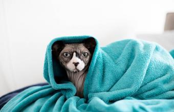 Cute sphynx cat wrapped in blanket