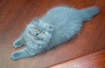Blue Persian Cat Resting