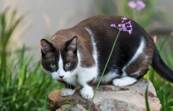 Munchkin cat relaxing in the garden