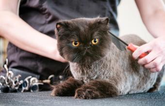 Professional Cat Groomer in a Pet Salon