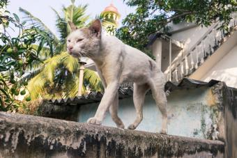 Really sick cat walking on the street