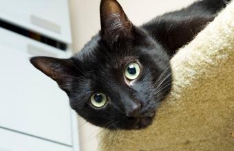 Black Cat Personality Traits