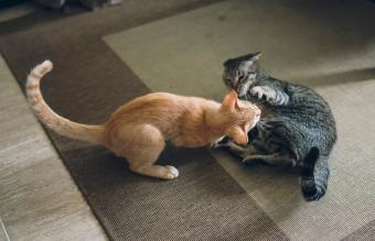 Two tabby cats play fighting