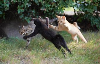 Three kitten fighting