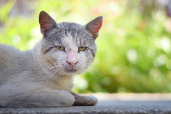 Old male cat
