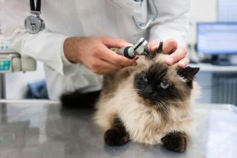 Veterinarian Checking Cat Ear At Clinic