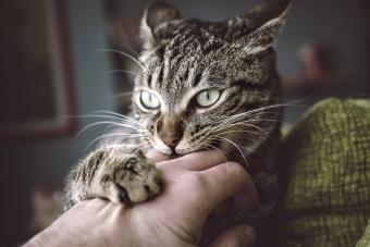 Portrait of tabby cat biting and scratching owner's hand