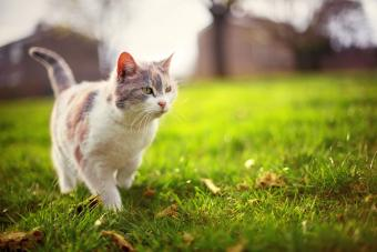 Patchy white fluffy adult cat walking across green lawn in park in sun