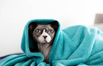 sphynx cat chilling