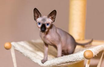 Sphynx cat in hammock