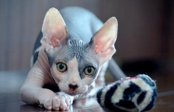 Sphynx Cat Breed Facts and Pictures