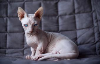 Bambino cat sitting
