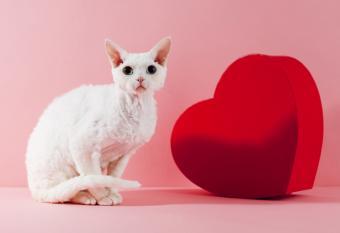 Devon Rex cat and heart shaped box