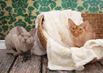 Lilac Smoke and Red Silver Devon Rex Cats