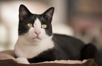 Tuxedo Cat Breed Facts and Pictures