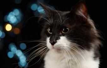 Tuxedo Norwegian Forest Cat
