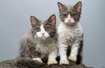 Two Selkirk Rex Cats