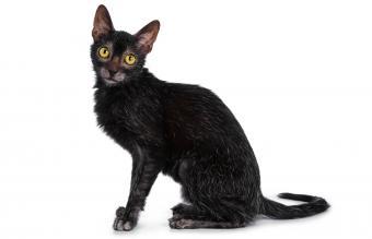 Black Lykoi cat kitten