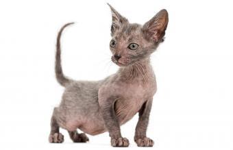 Kitten Lykoi cat