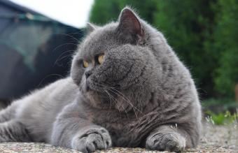 Chartreux Cat Relaxing On Field