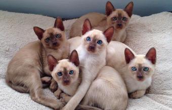 Stunning litter of tonkinese kittens