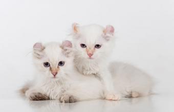 White American Curl Couple