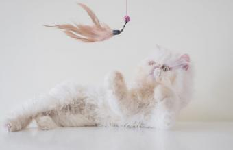 playing exotic shorthair cat