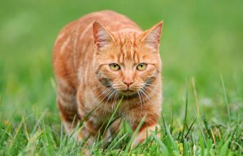 Young orange tomcat stalking in grass