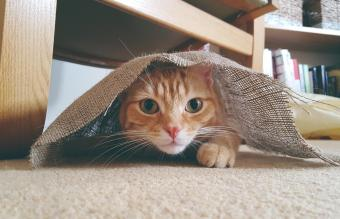 Ginger cat hiding under a piece of hessian material