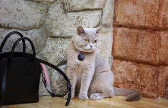 American shorthair surprised cat