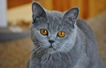 Chartreux Cat At Home