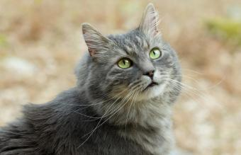 Gray siberian cat in forest