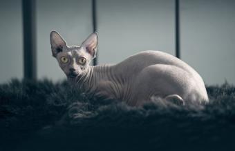 Sphynx Cat Sitting On Rug