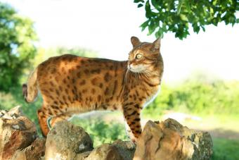 14 Cat Breeds That Look Like Tigers or Wild Animals