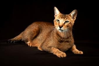 Chausie, abyssinian cat