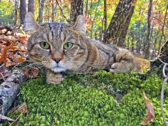 Beautiful Highland Lynx cat lying on a bed of moss surrounded by the colours of the fall leaves