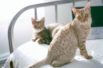 Two ocicats on bed