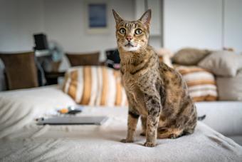 Cute Savannah Cat