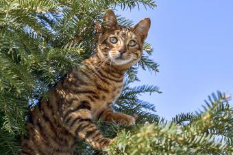 Breedcat Toyger
