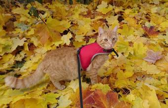 Cat On A Leash Against Autumn Leaves