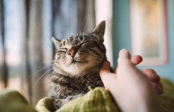Hand stroking tabby cat