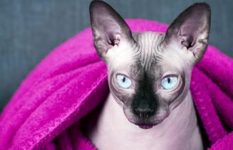 sphinx hairless cat