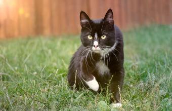 Cute tuxedo cat on a meadow