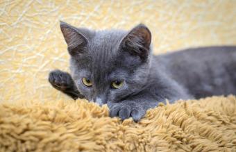 kitten sucking on bedspreads