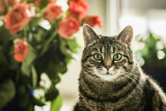 Cat posing in front of roses
